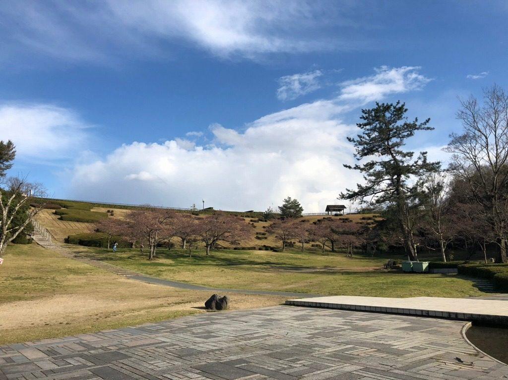太陽ヶ丘の桜の開花状況