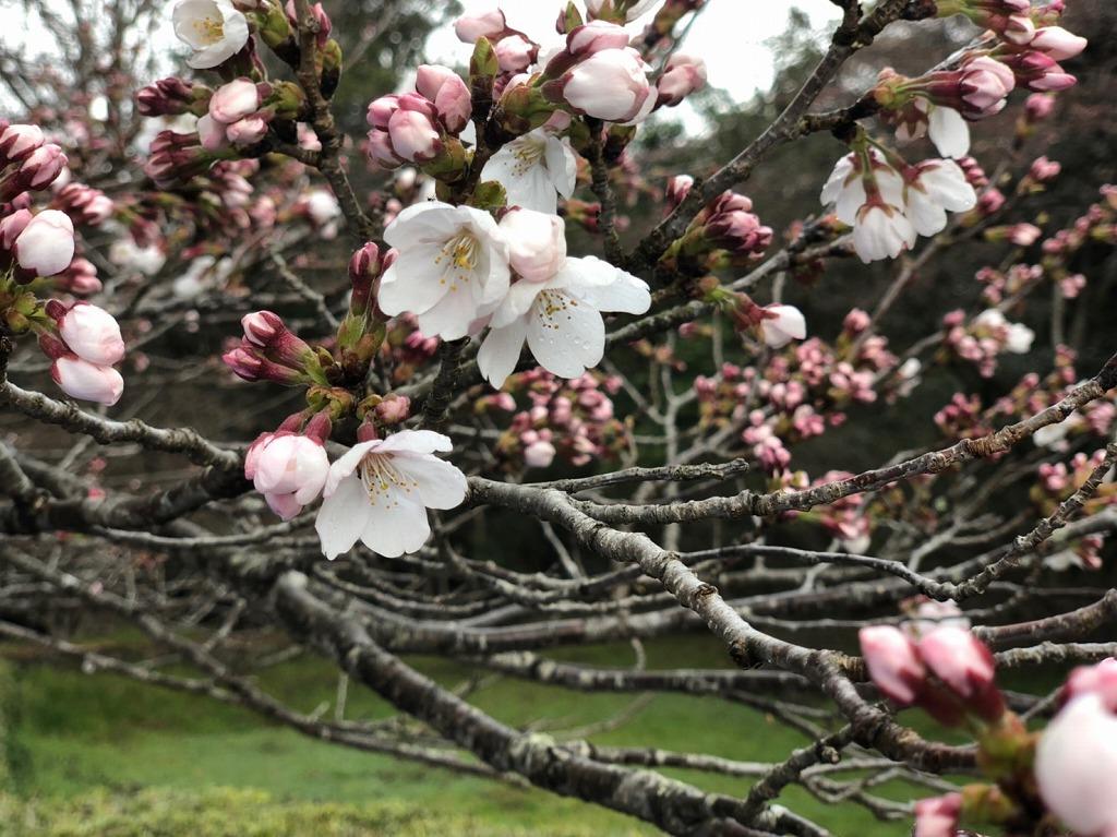 桜はまだまだ咲いてない